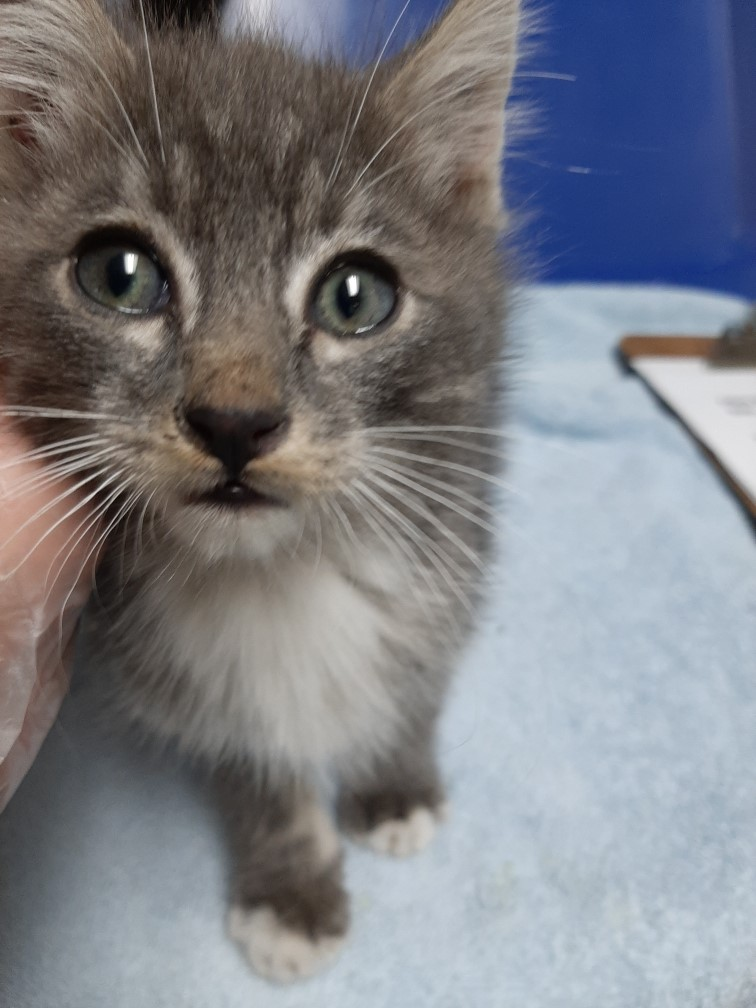 This little kitten was found in La Grande. Posted 9/25/2020.