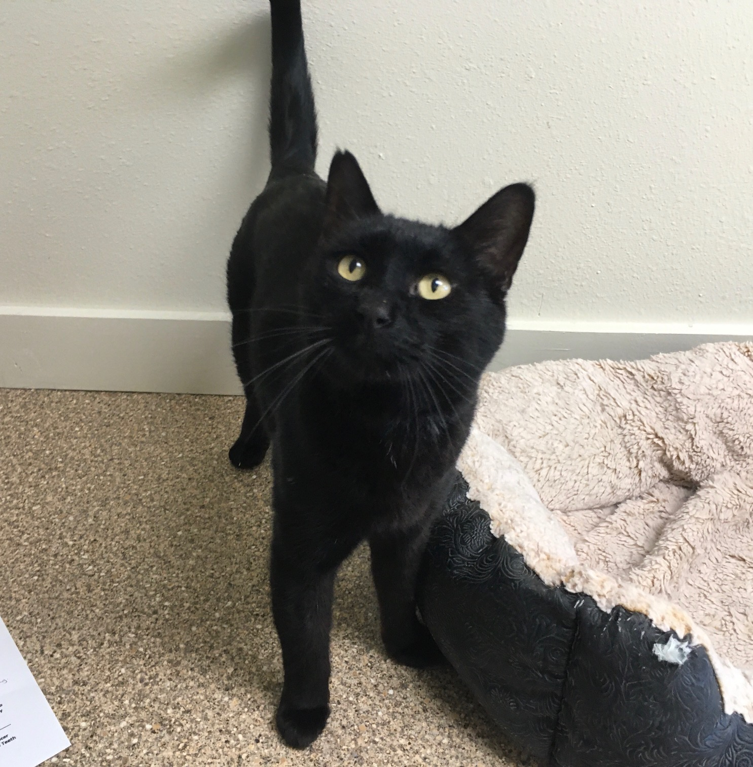 Pumpkin is a 10-year-old sleek male. He was surrendered only because of medical issues in the family. He has lived in a home with other cats and dogs and did great with both!