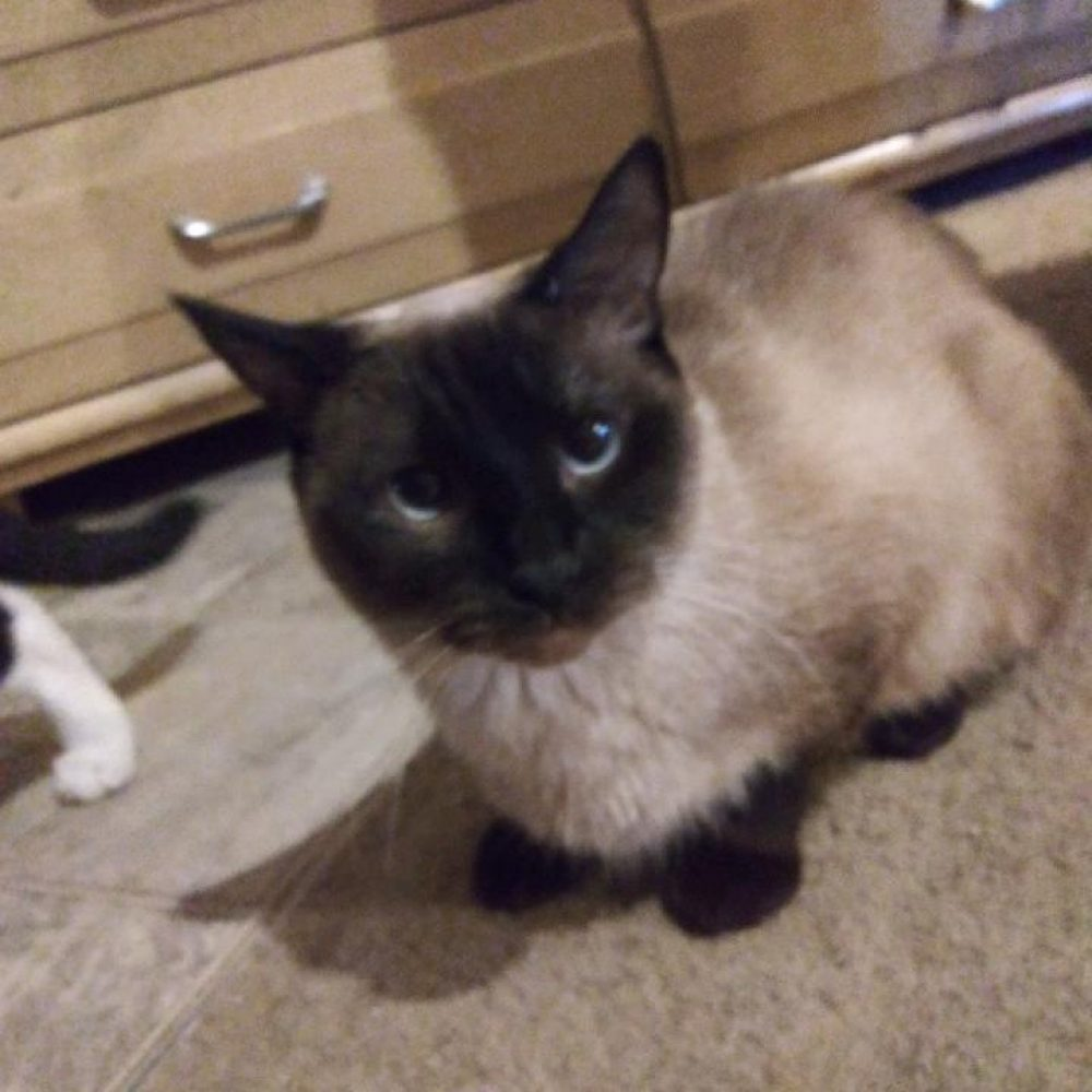 Amaryllis is a young female cat. She is very friendly with people. She is currently in foster, we have not yet seen her around other cats or dogs.