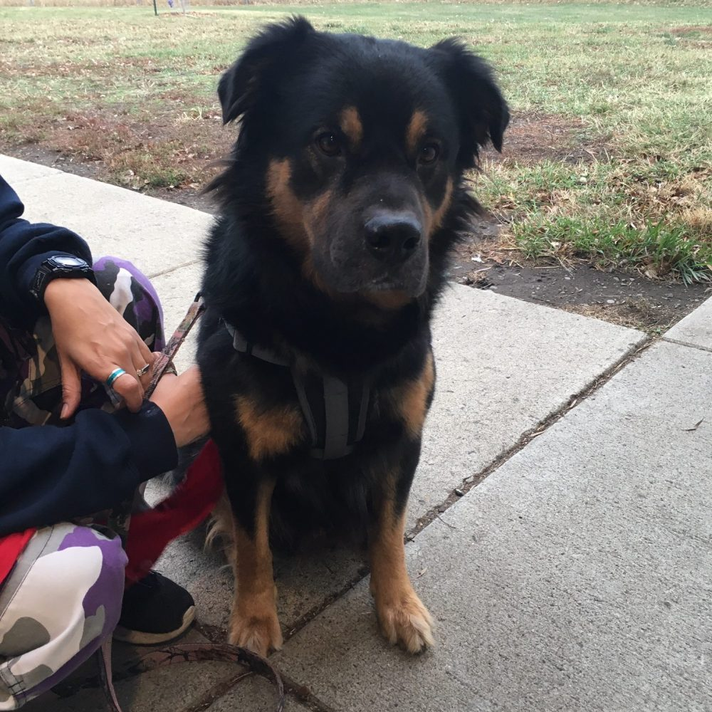 Bowser is a Rottweiler mix. He is very sweet when he warms up to you, but can be a bit stand-offish with strangers. He is aggressive towards cats, but does do okay with other dogs in the right environment.