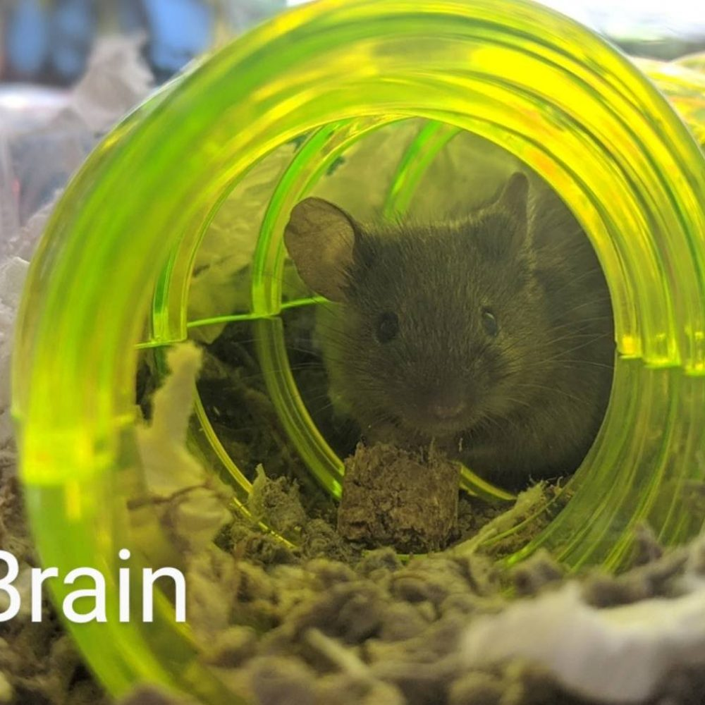 Brian is one a bundle of mice available at the Little Lives Animal Shelter in the Tri-Cities. If you are interested, BMHA may be able to help coordinate transport to the Pendleton or La Grande area.