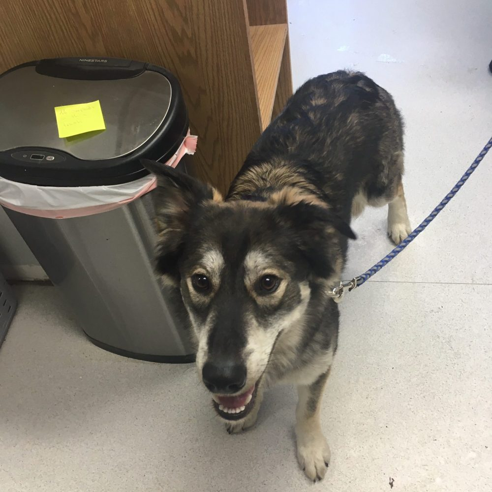 Luna is a 1-year-old female King Shepard-Husky mix. She is very shy with new people, but loves to frolic and play once she knows you, especially in the snow! She doesn't seem too interested in other dogs, but does fine with them. She seems similarly disinterested in cats.