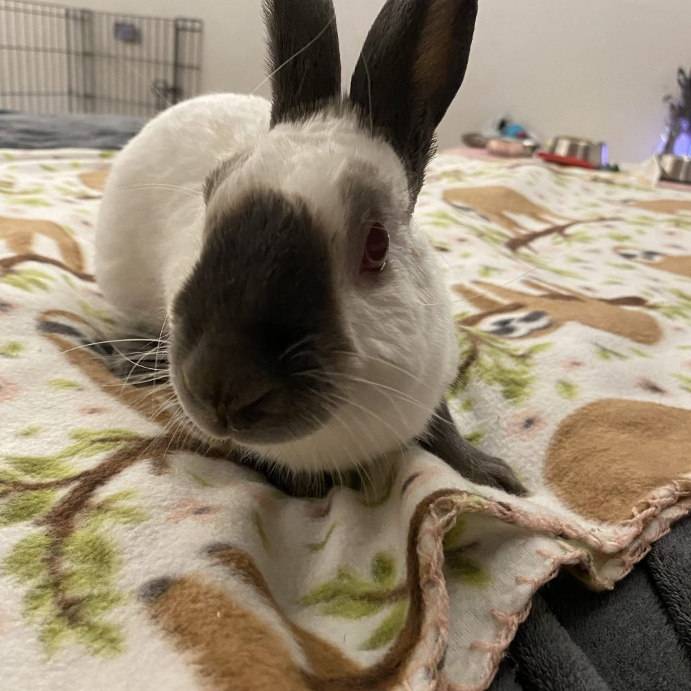 Kodiak is a 4-year-old male rabbit. He is very sweet and friendly with people. He is not neutered. We are told this special guy has even one a prize or two in 4-H!