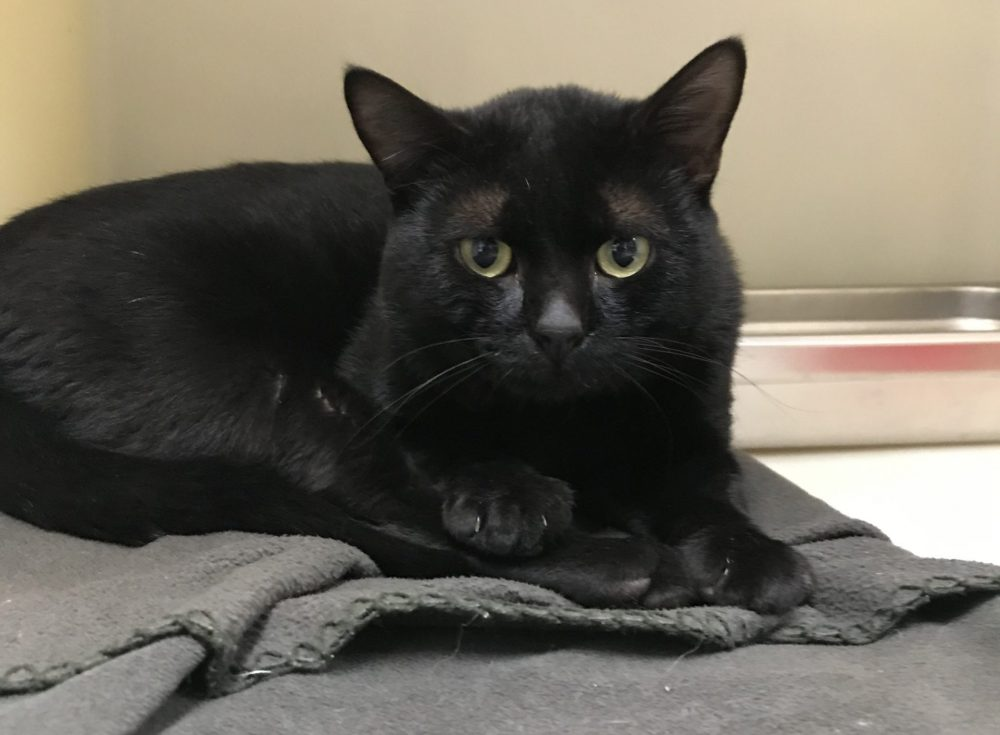 Cecil is a 1 year old male. He is all black except for a white blaze on his chest. Cecil knows what he wants, and that's attention and time with people. So far he has not done great with the other cats here, he may need to be the only kitty in a home.