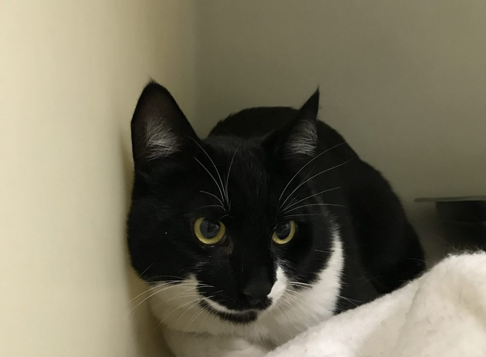 Chocolate is a 1 year old male cat. He is the definition of sleek and soft. He isn't pushy, but he does love to get attention from people, he has also done very well with the other cats here.