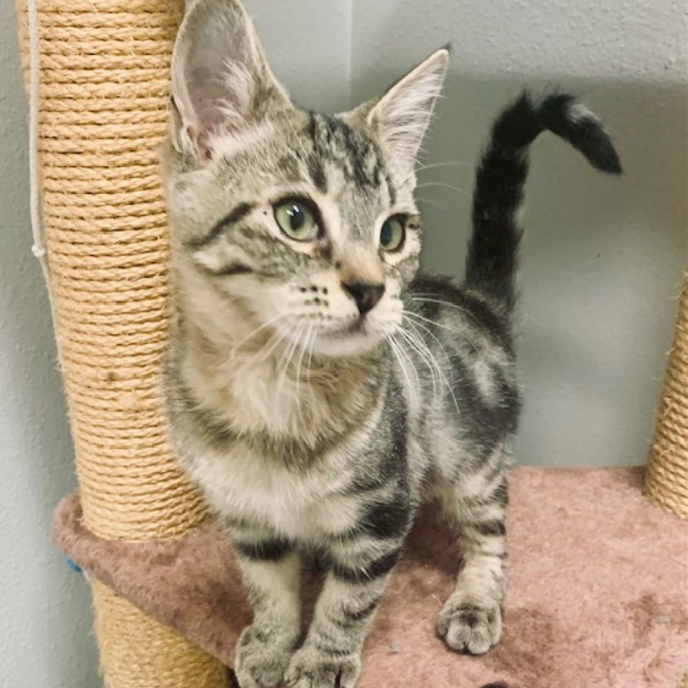 Cleo is a 3-4 month spayed female who loves to play with her friend Cricket.