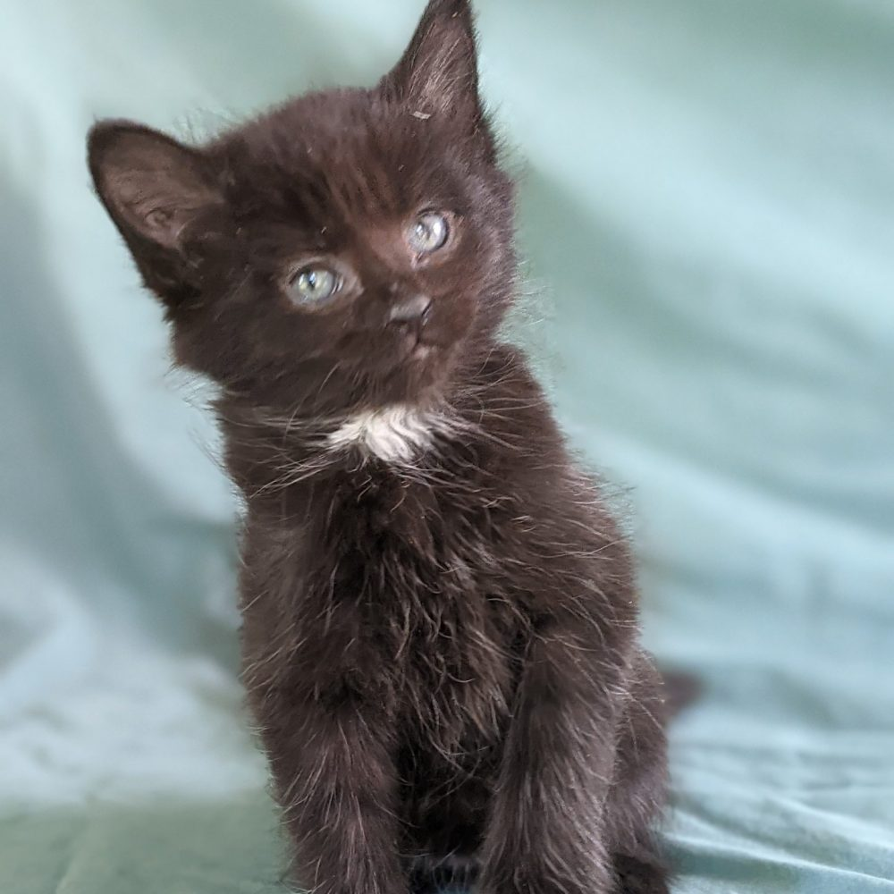 Contra  was bottle-fed in a foster home and is  comfortable around people.  He is playful and gentle and enjoys sitting  on laps.  We think he would be good with children.