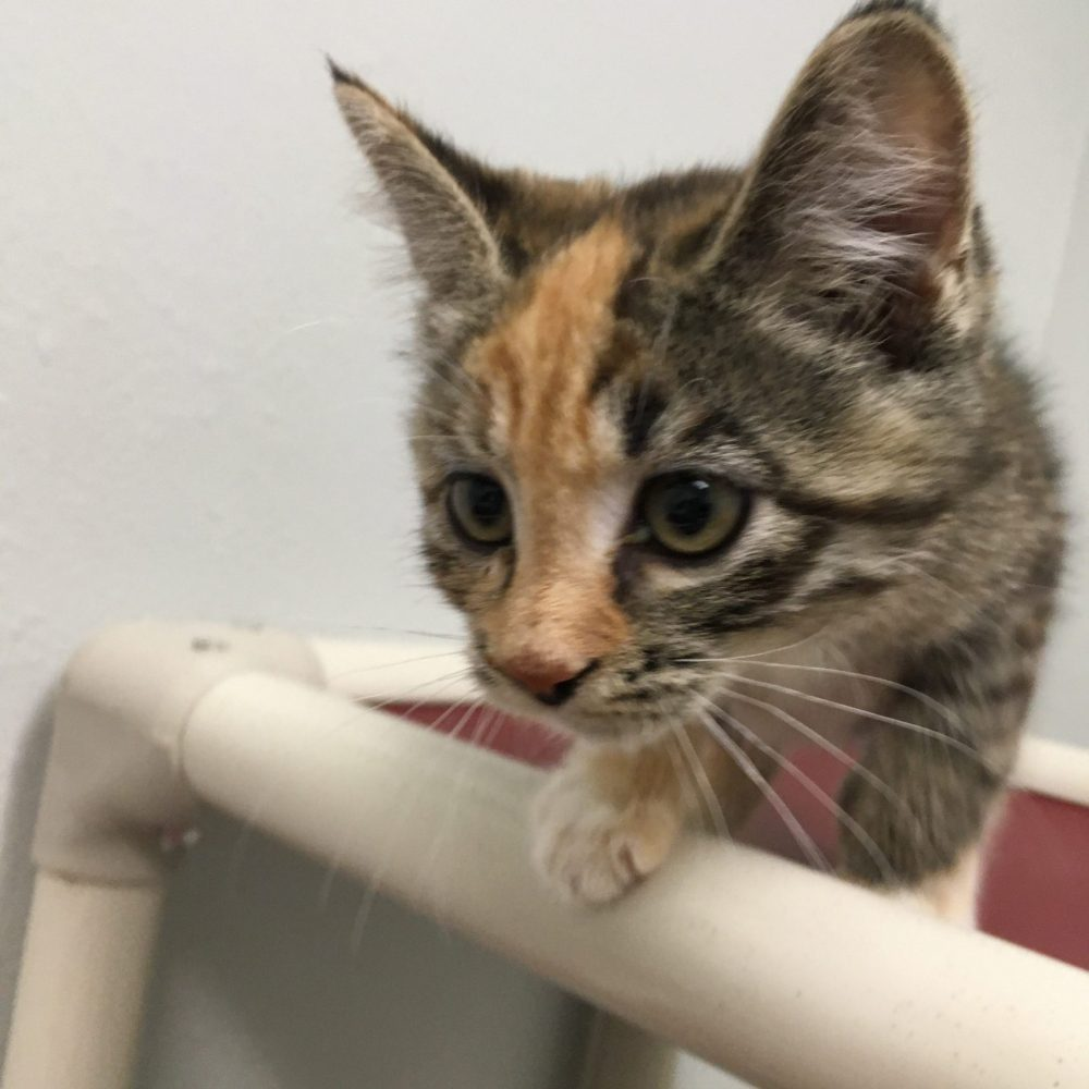 Cordelia is a little girl who was born on July 4. She is part of the Buffy litter. She is currently available at PetSense.
