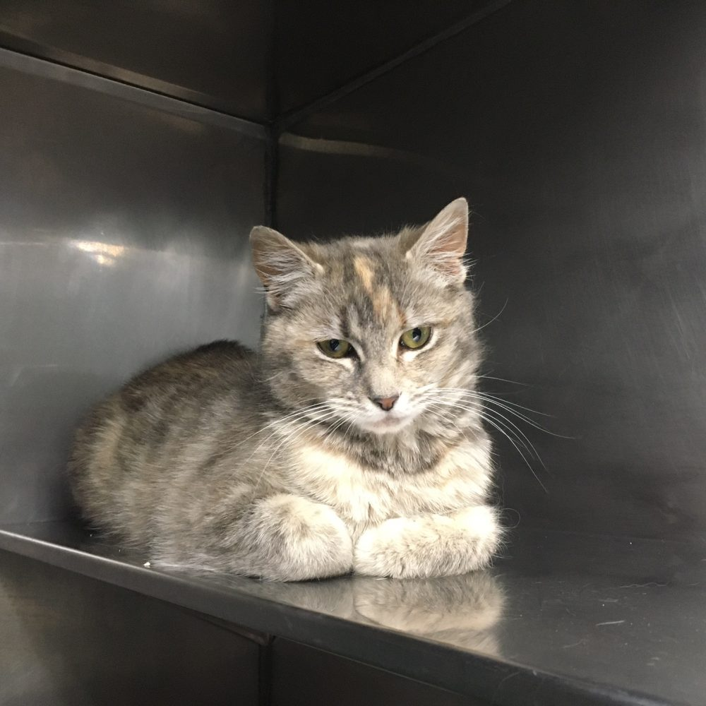 Diva is a 1-year-old female. She is very affectionate with her humans but does not do well with other cats.