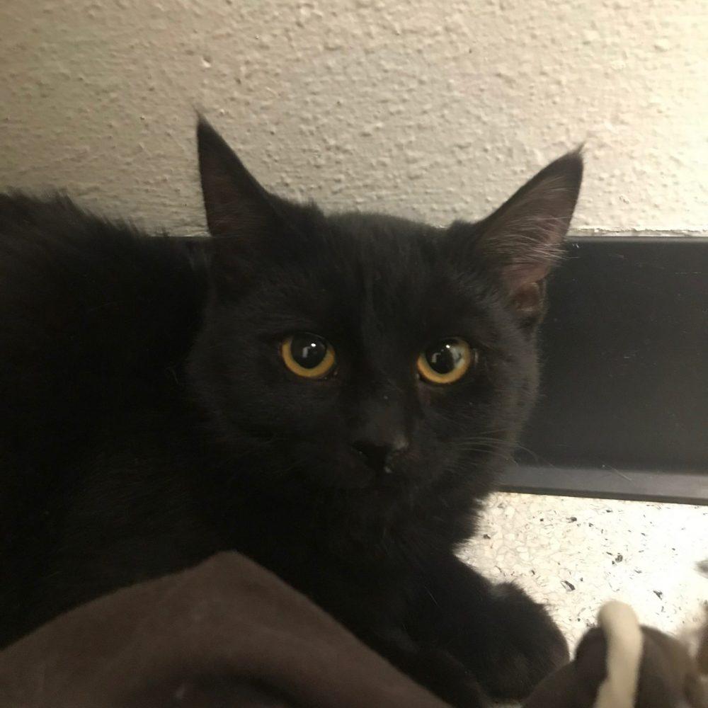Elvira is a female kitten born in July.