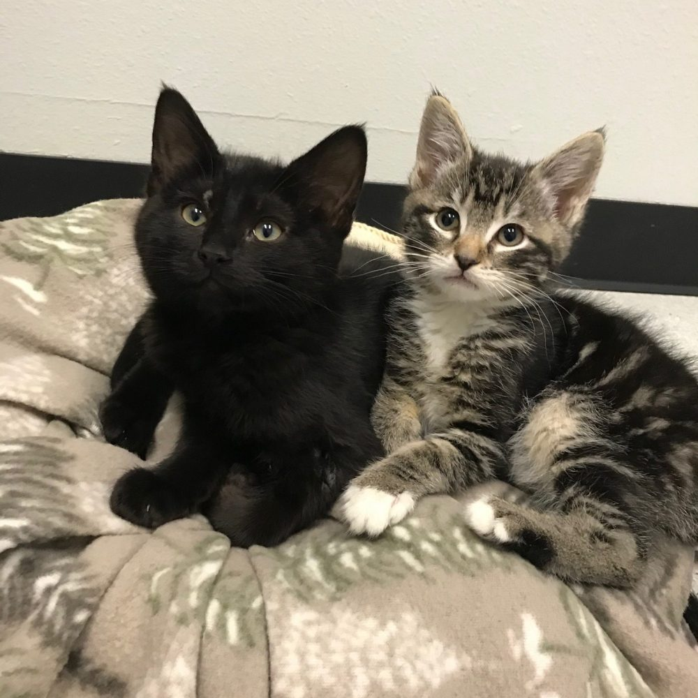 Eros and Courtney are the best of friends. Eros is the little male tabby, Courtney is the little black female. They are only a couple weeks apart in age and get along wonderfully. We hope they can get adopted into a home together!