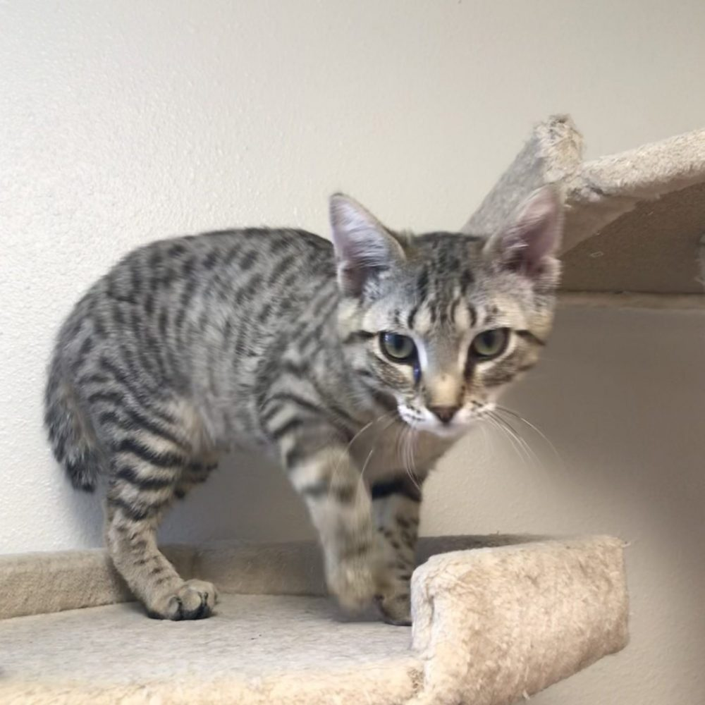 Fire is a little girl who was born in December. She and her sister Water (part of the Elements Litter) are both very shy, but do love attention when they get it. They will need a quiet home with patient and loving people to help them build up their confidence and trust.