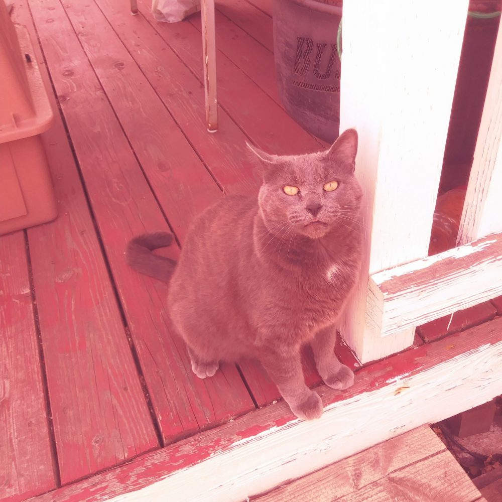 Gracie is a beautiful 5-year-old Russian Blue. She is very friendly and loving, she was living happily as an indoor-outdoor cat, until her owner passed away. She would love to return to her loving affectionate life with a family!