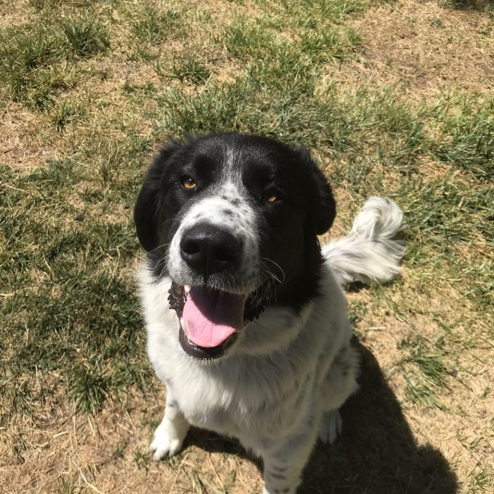 Gus is a 1-year-old Great Pyrenees-Border Collie mix. He is big, he is loving, he is wonderful, and he is a Pyranees! He likes to protect his home grounds, and has endless loyalty for his people - but really for Gus, he loves everyone he meets! He has done well with other dogs here at the shelter, but will stand his ground if another dog picks a fight. He doesn't seem interested in cats.