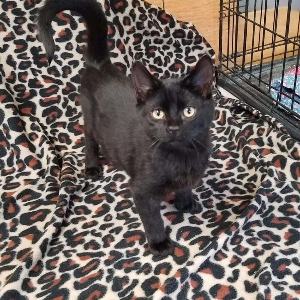 Hail is a little boy who was born at the end of October. He is one of the Weather kittens.