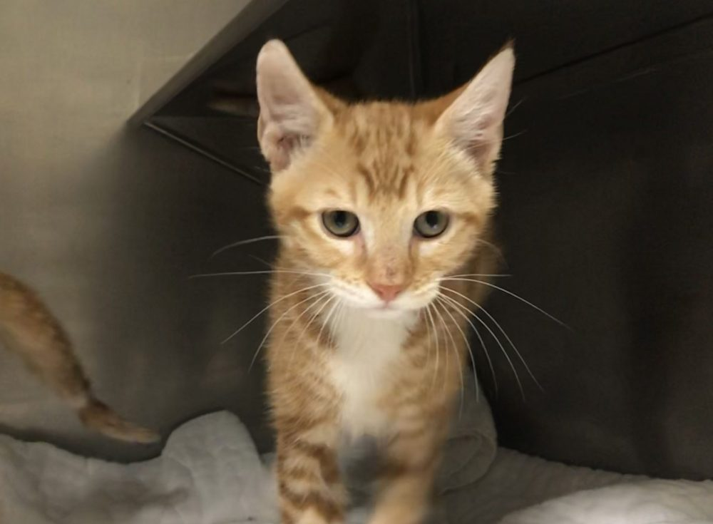 Houdini is a little boy who was born in the beginning of May. He and his brother Chatterbox are available at PetSense!