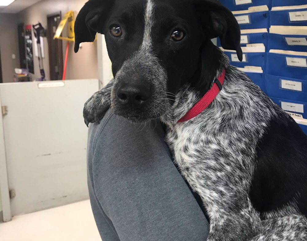 Sadie is a 1 year old female German Shorthair pointer cross. She is intact. Great with other dogs, cats, and kids.IN TRAINING AT POWER RIVER CORRECTIONAL