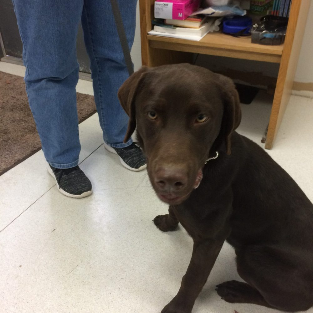Snickers is a 7-month old lab/husky mix (90% lab, 10% husky), born in Feb 2021.