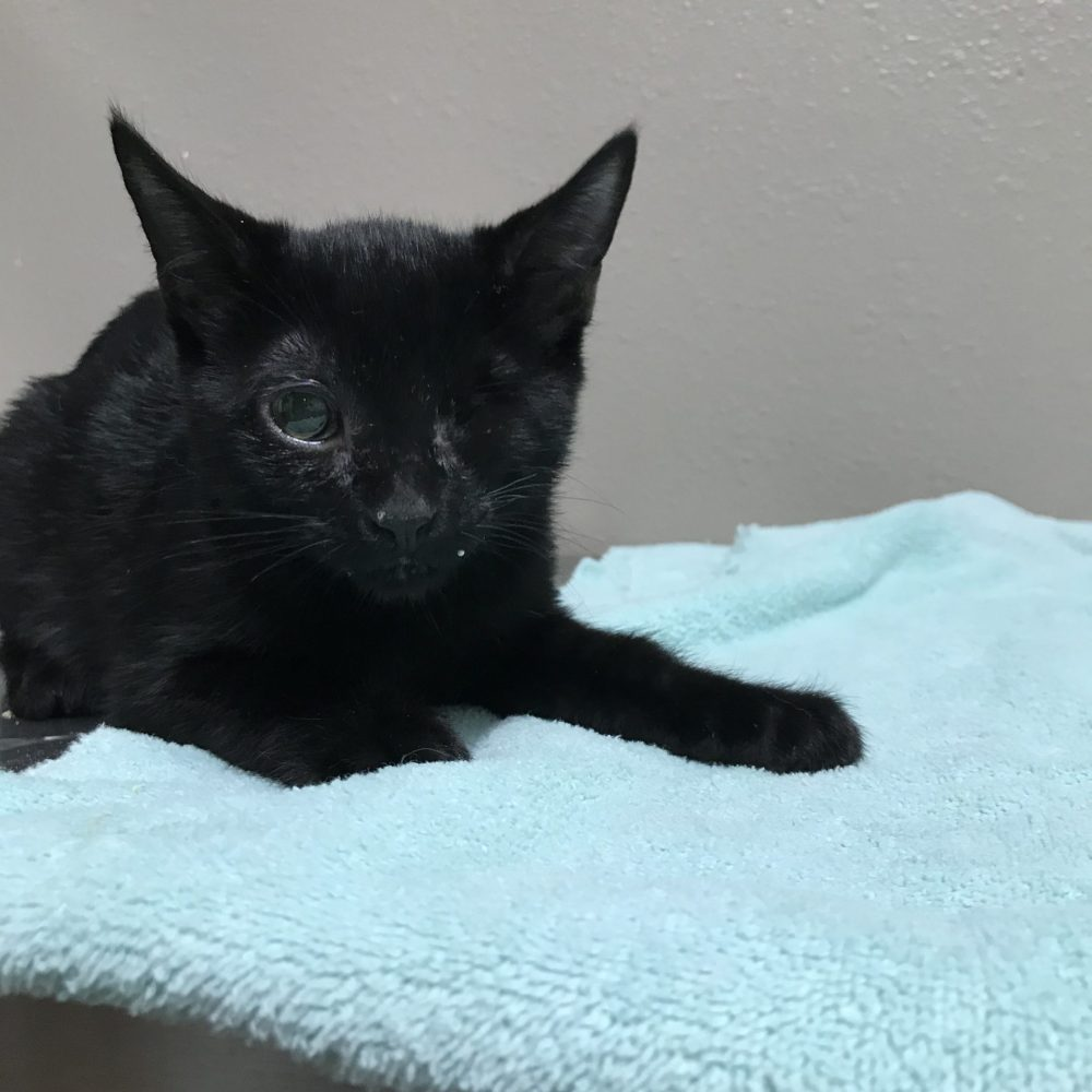 Janet is a little girl who was born in the beginning of September. She is part of the Jackson 5 litter. She was very sick when she was young, with an upper respiratory illness that infected her eye, she had to have it removed, but she is now in excellent health!