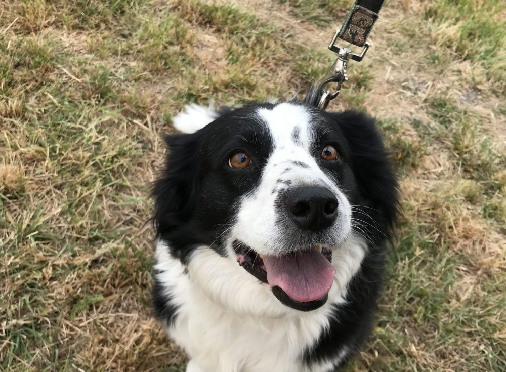 Kali is an eight year old female border collie. She has lots of energy left in her, she can get all four feet pretty high off the ground when she's excited about visiting humans. She has been nothing but sweet and social with both people and other dogs.