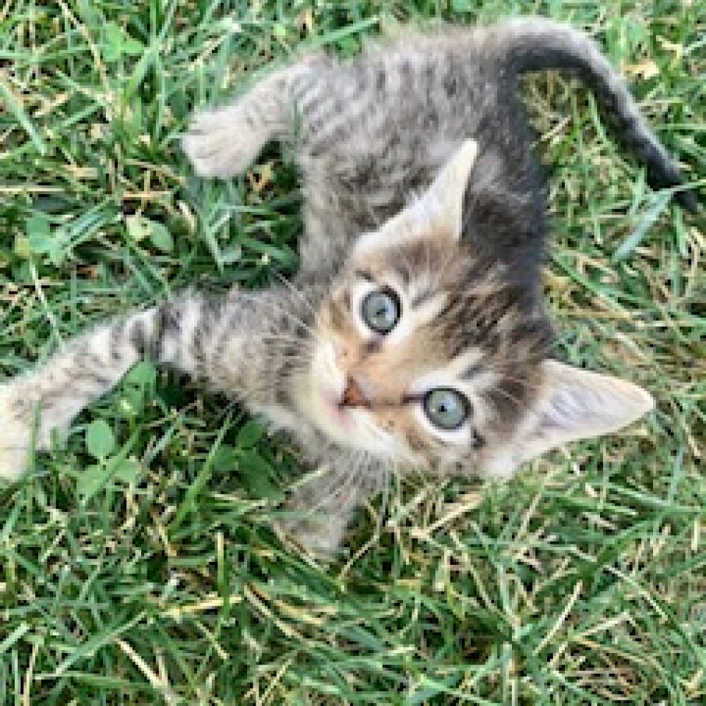 Cabbage is a female and was born in late July and is part of the Veggies kittens. She loves human pets and cuddles!