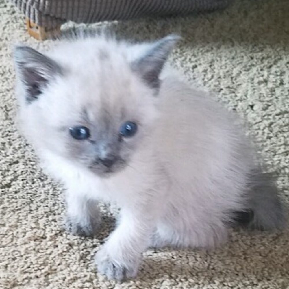 Ladd is a male kitten born in early August and rescued at Ladd Marsh in La Grande, OR. We are accepting applications for him and he will available to take home in early October.