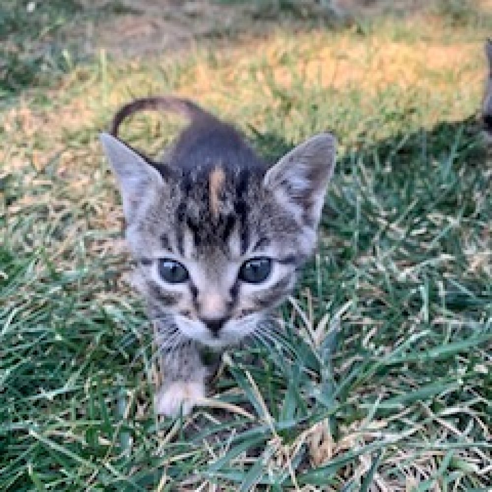 Sweet Pea is a female and was born in late July and is part of the Veggies kittens. She loves chasing her siblings and getting cuddles from humans.