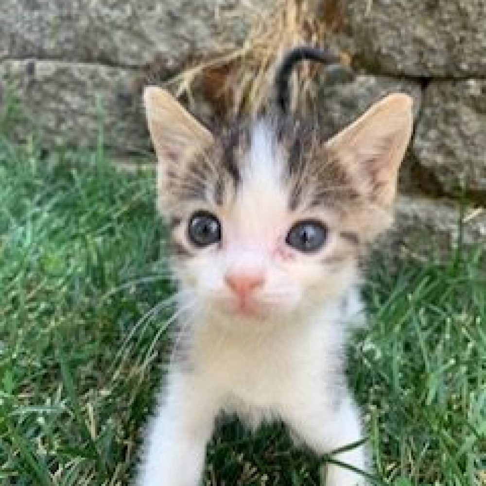 Turnip is a male and was born in late July and is part of the Veggies kittens. He is very sweet and loves belly rubs.