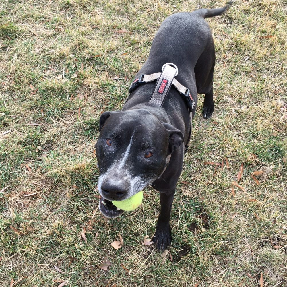 Kuma is a sweet ol' boy, probably 6 or 7 years old. He is a lab and pitbull mix. He is very loving with people and loves a good game of fetch. He doesn't always do well with other dogs, and will probably do best as the only dog in the home.