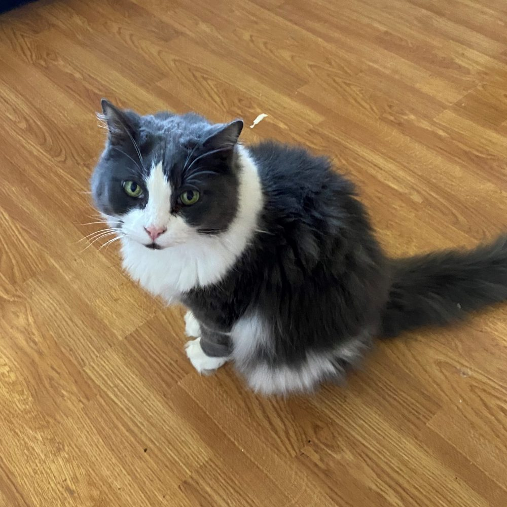 Liz is a 13-year-old female. She is declawed so she definitely needs to be an indoor only cat. She does like to be petted and will sit on your lap (although she likes this to be on her terms). She is beautiful and kind, though she would prefer to be the only animal in the household.