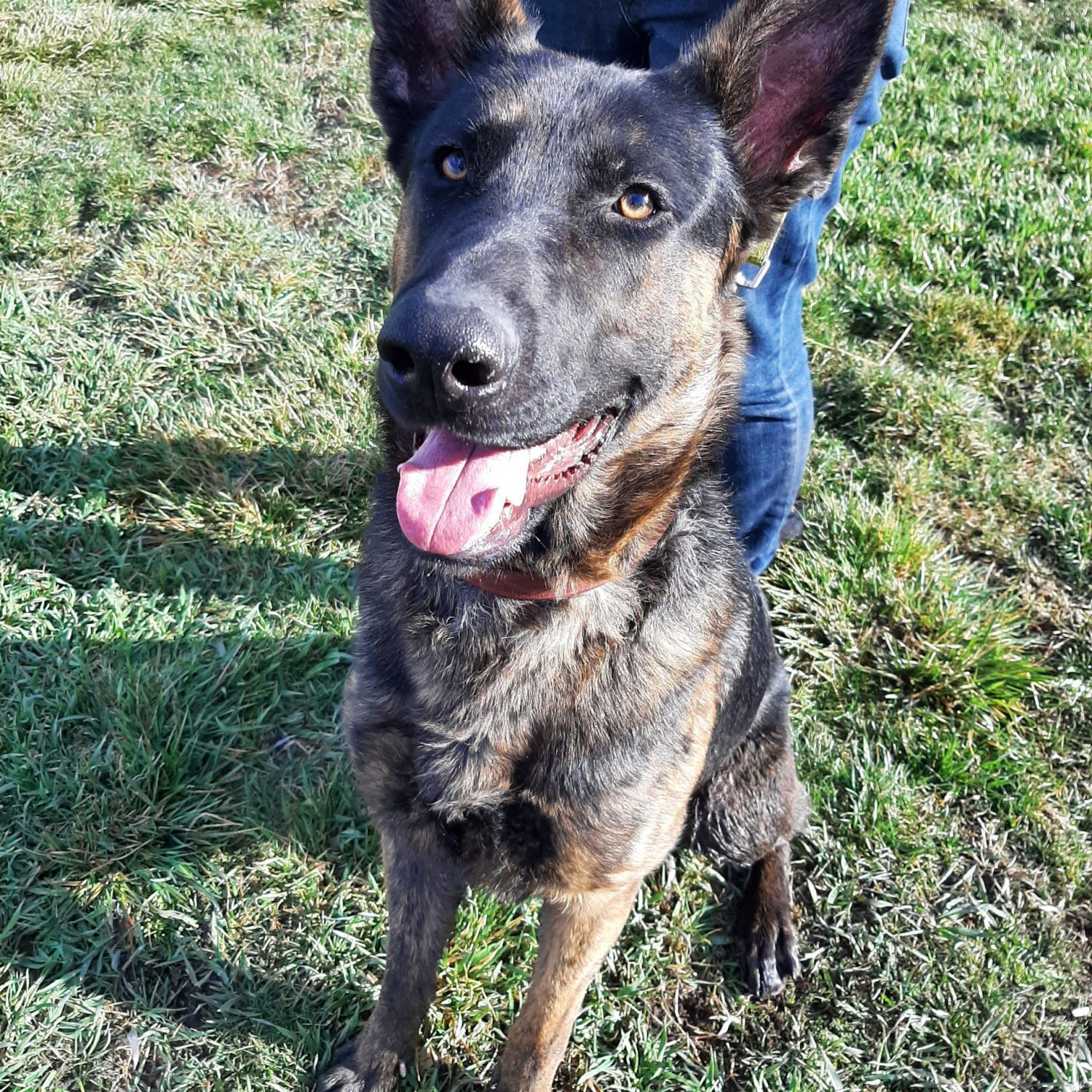 Luke is a one-year-old German Shepard and Mallinois mix. He is kind and loving with all the people he meets, though still has quite a bit of his puppy energy. We are still getting a feel for how he does with other dogs and cats.