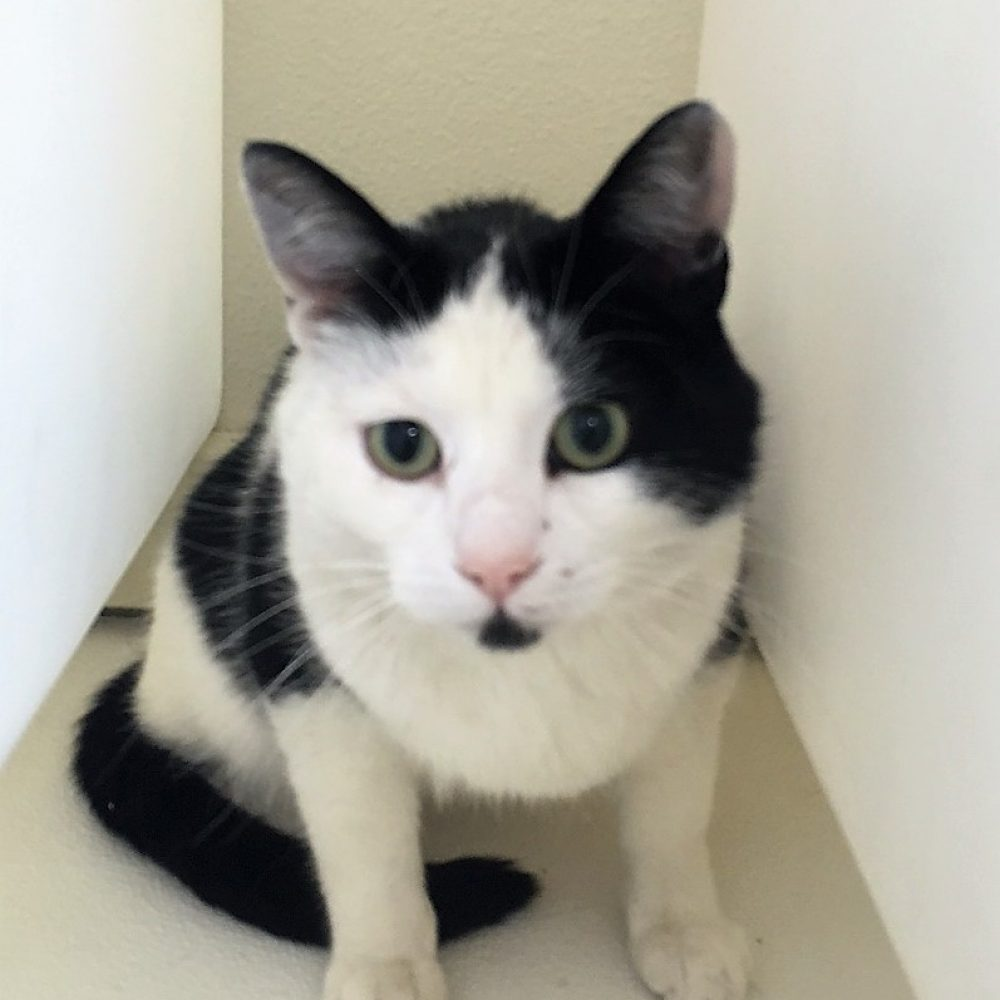 Magpie is a 3-year-old male. Although he enjoys a good hiding place every now and again, that can't beat his LOVE for pets and attention. He has done just fine with the other cats here at the shelter.
