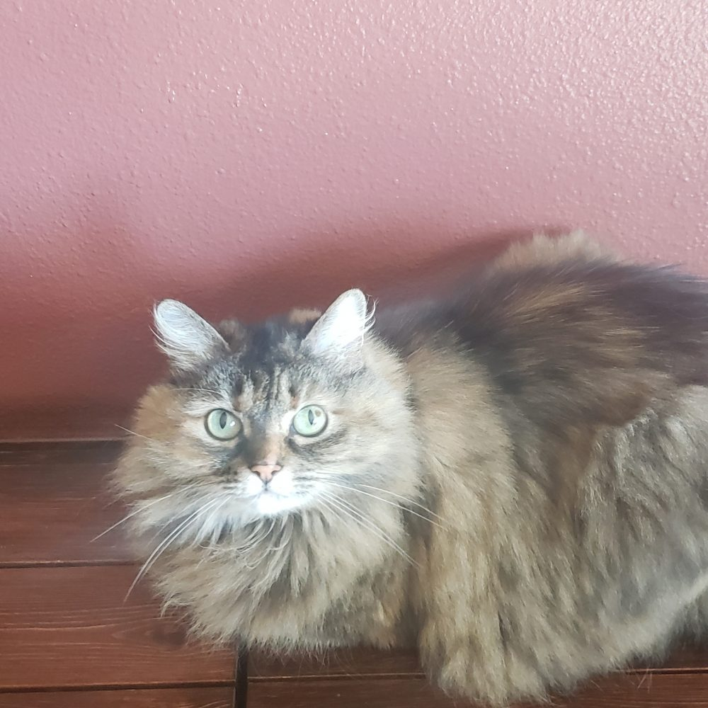 Mya is a 10-year-old declawed female. She is a very sweet and loving, and will need to be an indoor-only kitty in a quiet home. She is currently in foster care so we will need to schedule any visits ahead of time.