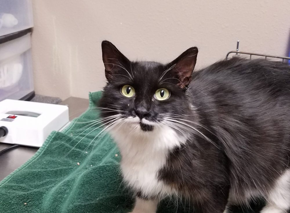 This kitty was found on 16th in La Grande. Please let us know if you might know who it belongs to!
