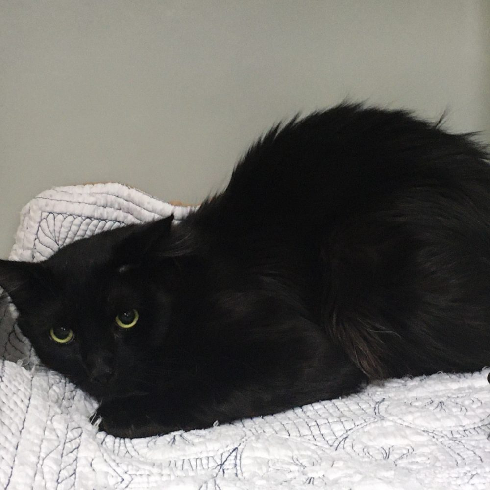 PM is a beautiful long-haired male. He is siblings with AM, and is only about 10-months-old. He is vocal for affection a adores attention from people.