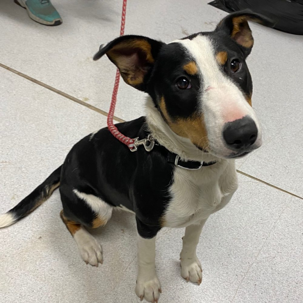 Peanut is a 2-year-old bull terrier mix. She is only about 30 pounds, with tons of sweetness and playful energy and snuggles to share. She's good with other dogs, and has very good leash manners when she's not feeling cooped up and stir crazy.