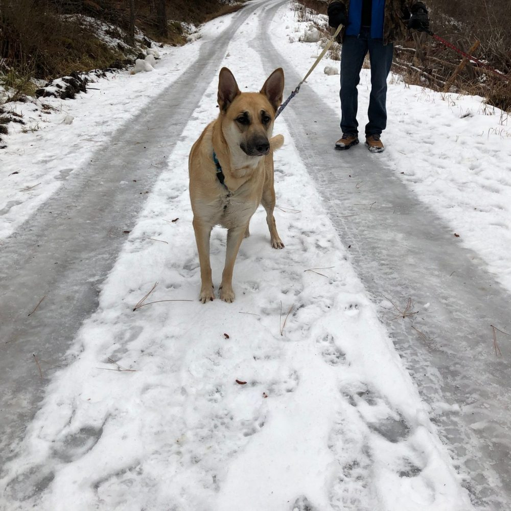 Princess is a 3.5 year old German Shepard mix. She is probably around 55 pounds. She is very sweet, and typically good with other dogs. She likes her walks and she also likes her cuddles. She does well on a leash and is generally pretty easy going.