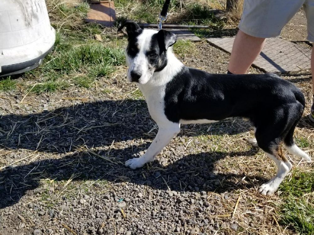 Dash is a 3 year old neutered male border collie mix. He is a high energy dog who loves to play active games with people, he LOVE LOVE LOVES to play ball or chase sticks. He is up to date on shots. Does not do well with cats, and has inconsistent behavior with other dogs.