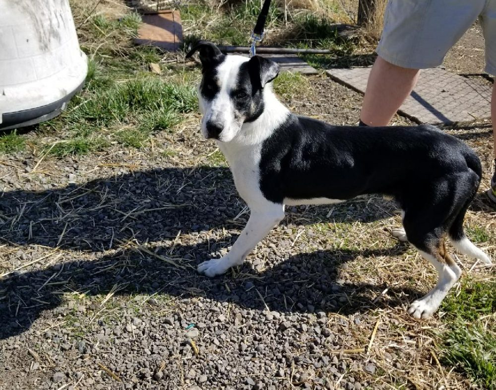 Dash is a 3 year old intact male border collie mix. He LOVE LOVE LOVES ball and playing. He is up to date on shots, and doesn't have a history of biting. MUST GO TO CAT FREE HOME
