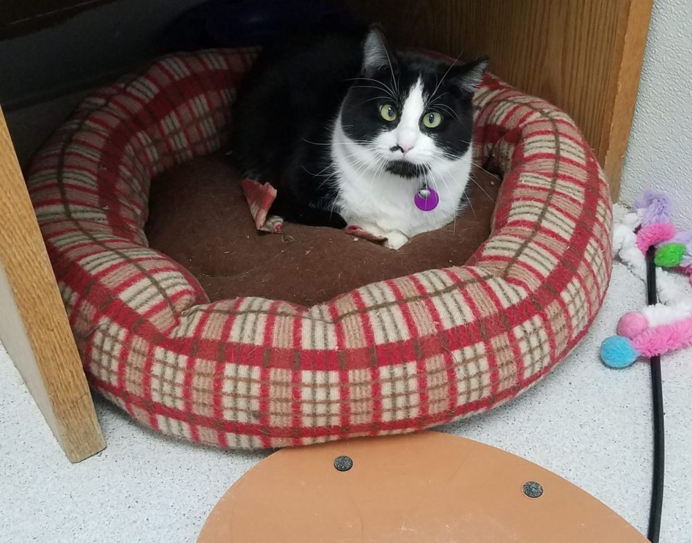 Reuben is a beautiful 1-2 year old neutered black and white tuxedo who tolerates being petted. He is shy, but curious, and seems to like being around people.
