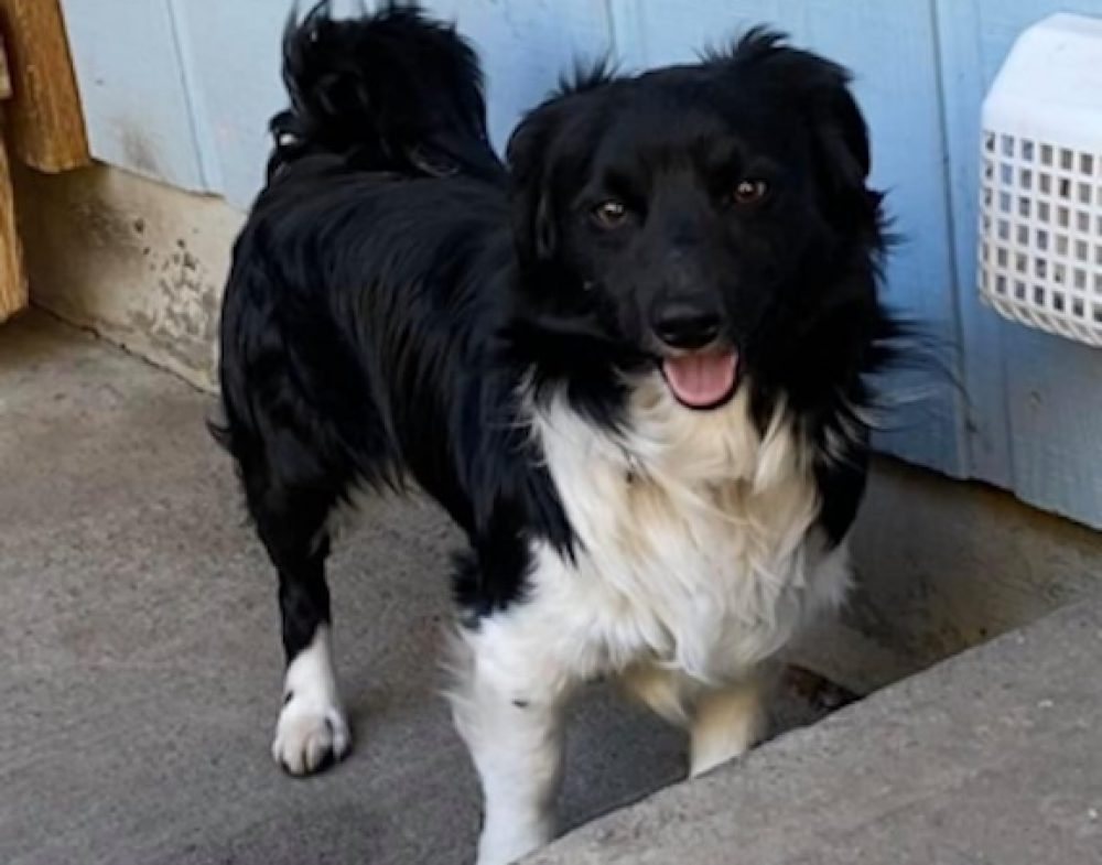 Scotty is a neutered male border collie mix. He needs a home and family with a yard, escape proof fence, and time to spend on training. He is an escape artist who needs some love.