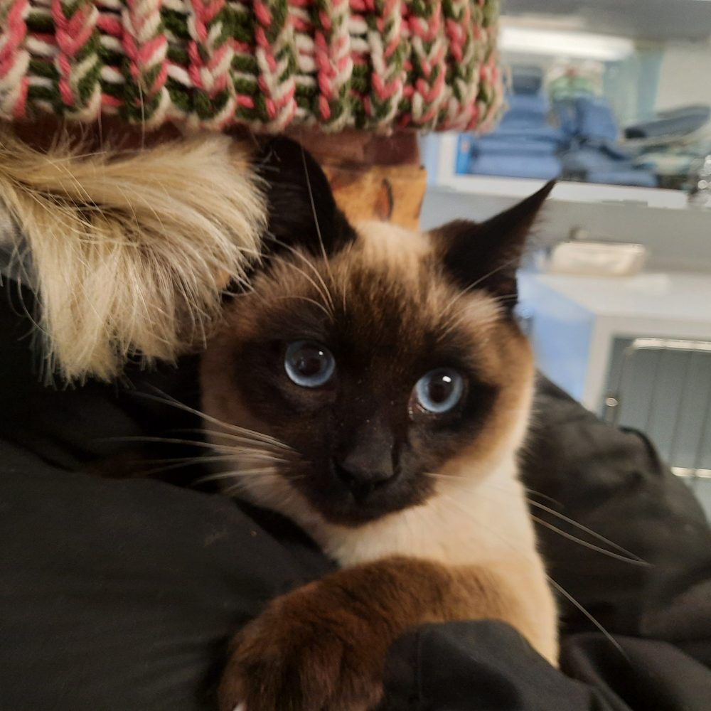 Beethoven is a young Siamese male, under a year. He is very friendly and loving with people. He is currently is foster care, so we will coordinate visits here at the shelter if anyone is interested in meeting him!