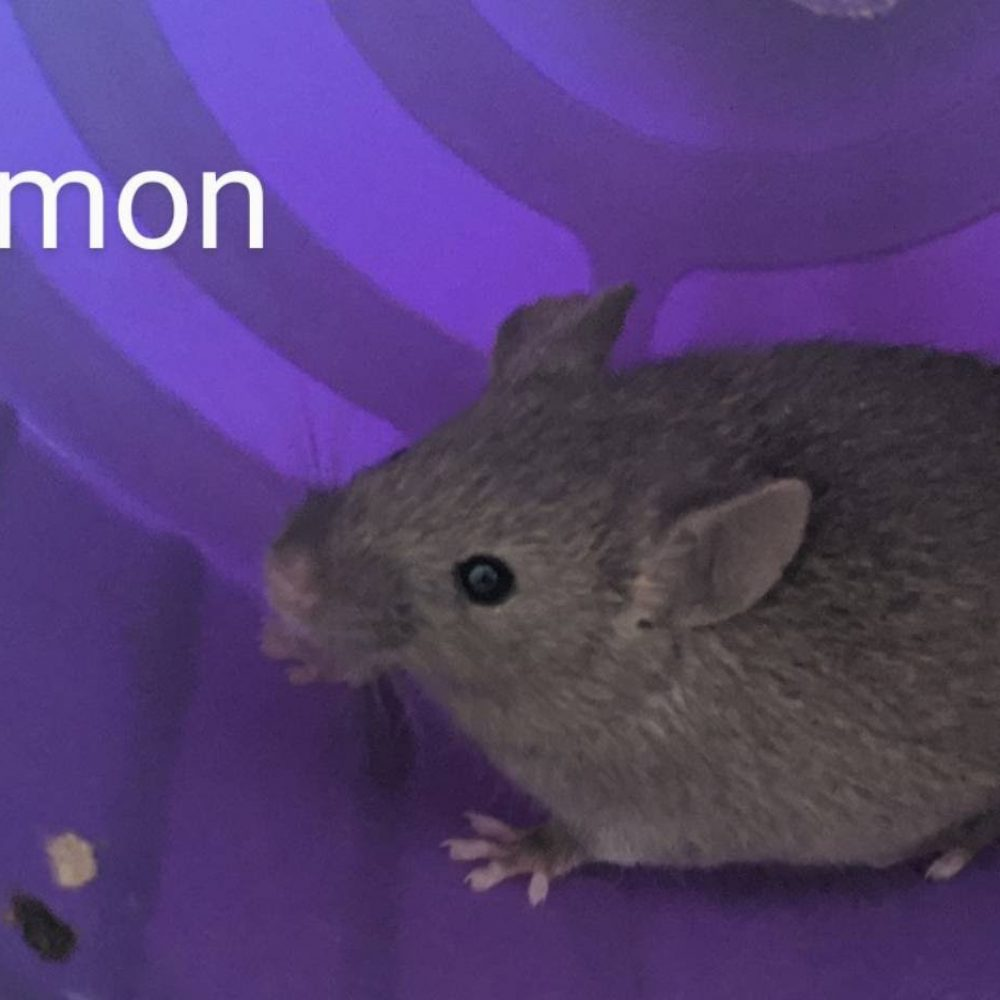 Simon is one a bundle of mice available at the Little Lives Animal Shelter in the Tri-Cities. If you are interested, BMHA may be able to help coordinate transport to the Pendleton or La Grande area.