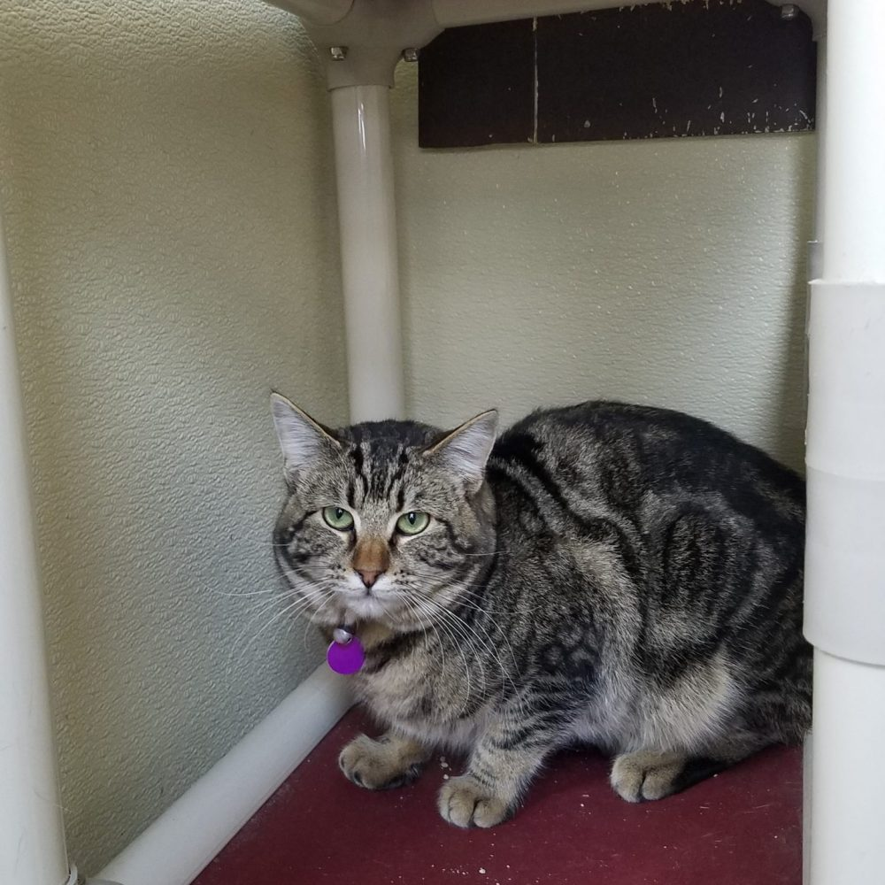 Smitty is a stunningly handsome young man, about 2 years old. He  is shy but curious, and very interested in people attention, but just in small bursts. His heart is won with wet food.