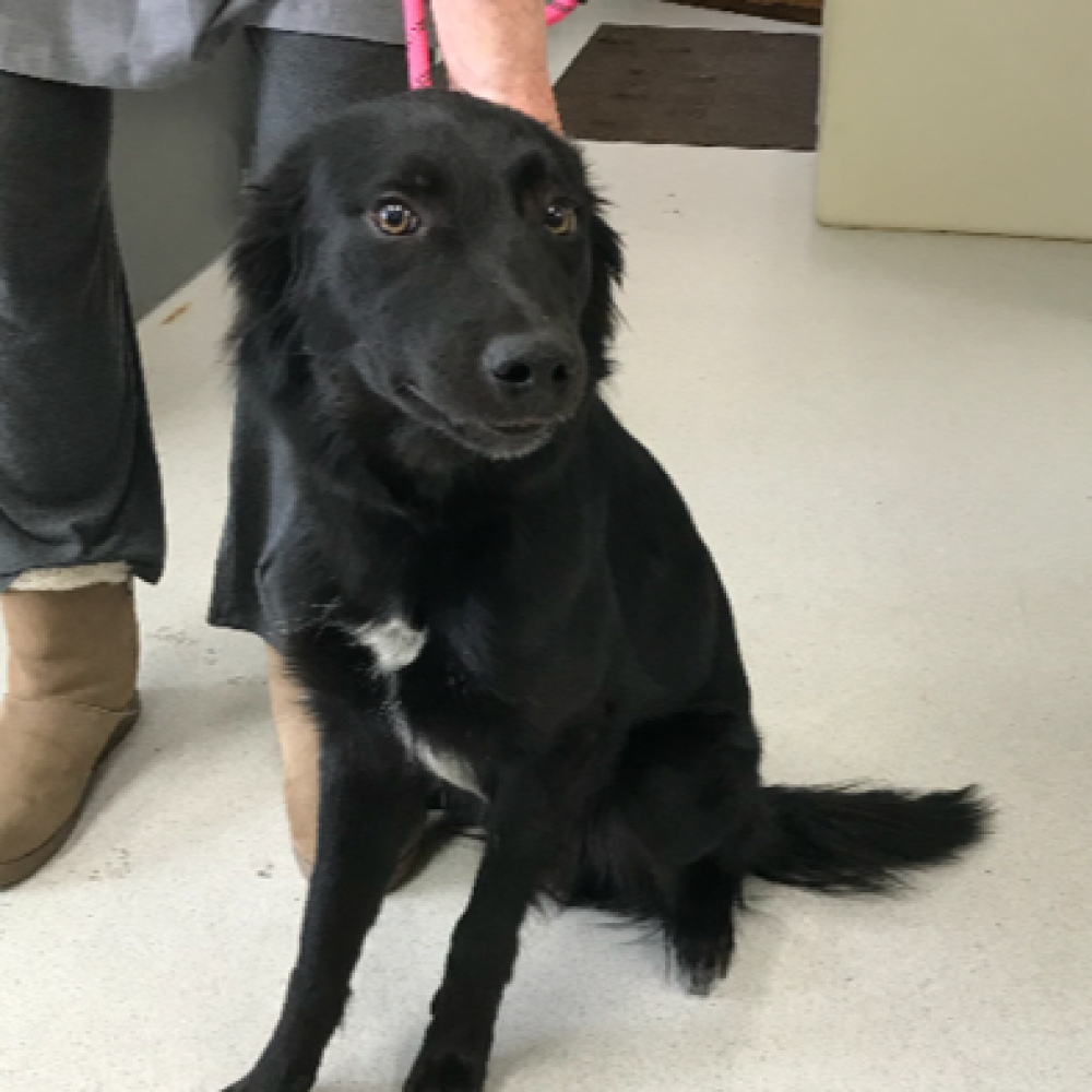 Ranger is a 1-year-old border collie mix. He has plenty of playful energy that he loves to share with humans and dogs alike. We aren't sure yet how he does around cats. He is a bit squirrelly on his leash but he seems like a very smart dog that will learn quickly.