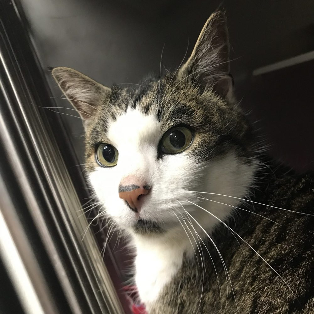 Mey-Rin is a big beautiful adult female. She is gentle and loving with humans and cats alike. She is declawed and thus needs to be kept indoors.