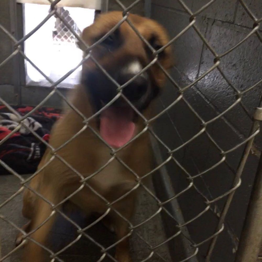This stray Shephard mix was found on June 15.