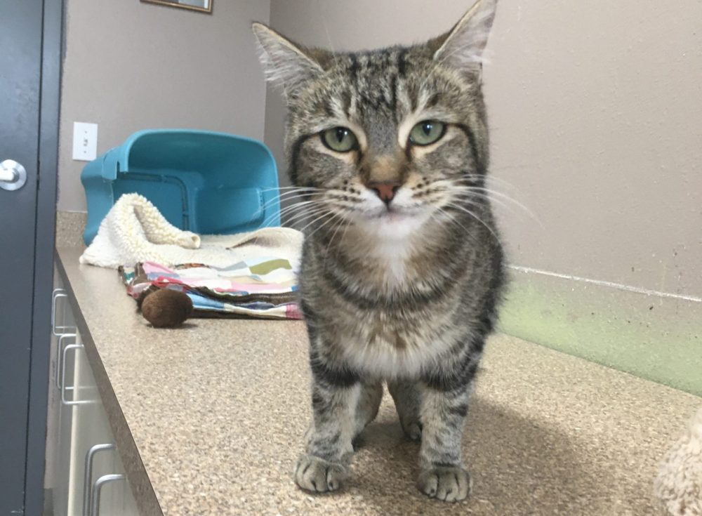Tabitha is a sweet young adult cat. She is picky about the other cats she's around, but is a snuggle bug with all people.