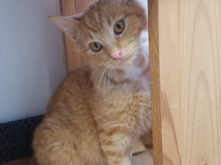 Tango is a 14 week old neutered male. An orange domestic shorthair, he enjoys being held and is definitely a lap kitty. This sweet guy is ready to meet his forever family!