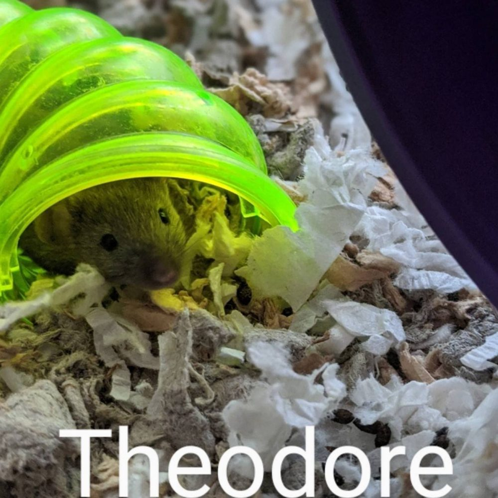 Theodore is one a bundle of mice available at the Little Lives Animal Shelter in the Tri-Cities. If you are interested, BMHA may be able to help coordinate transport to the Pendleton or La Grande area.
